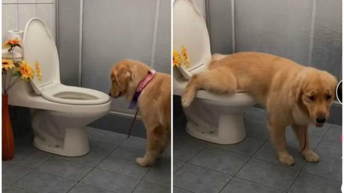 ¡INCREÍBLE! El video del perro que usa el baño y es viral de TikTok
