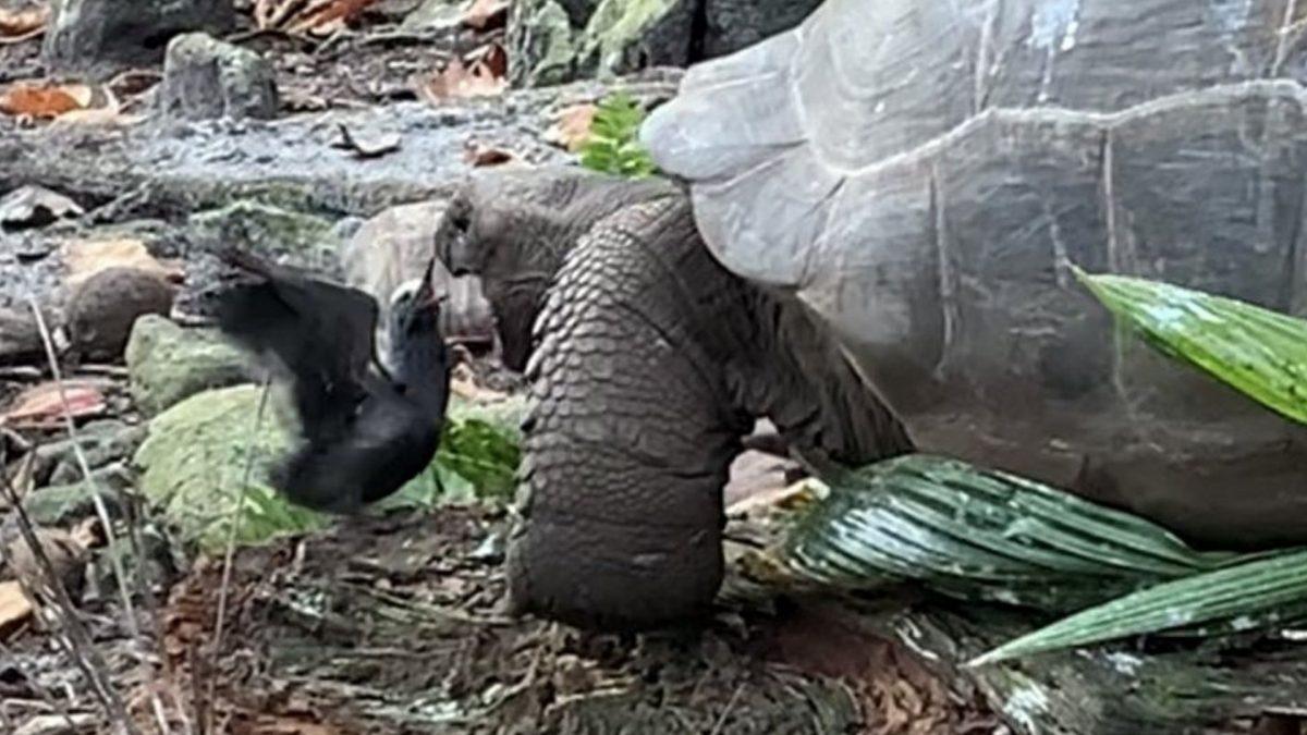 VIDEO: La primera tortuga gigante vegetariana que caza y devora pájaros