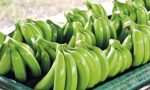 Con regularización de cultivos inicia ordenamiento de sector bananero