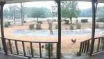 VIDEO | Un gallo se hace viral al convertirse en el guardián de su casa