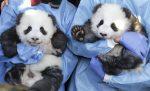 Nacen gemelos de osos panda gigante en Madrid