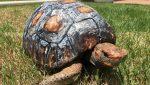 Logran un Récord Guinness por reconstruir e implantar el primer caparazón de tortuga impreso en 3D