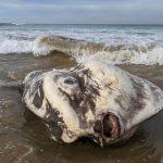 FOTOS: Captan increíble criatura marina gigante en la orilla de un río de Australia