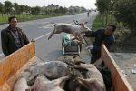"""Nuevo """"virus pandémico"""" en cerdos que podría transmitirse a humanos es identificado en China"""