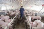 Lo que sabemos de la nueva gripe porcina con 'potencial pandémico'