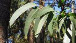 """Ministerio de Agricultura de Indonesia prepara lanzar al mercado un collar de eucalipto que """"mata"""" al coronavirus"""