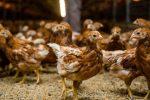 Un hombre que fue sentenciado en Inglaterra por mantener relaciones sexuales con gallinas