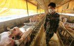 China asegura que la cepa de gripe porcina descrita en un reciente estudio no es nueva y no infecta fácilmente a los humanos