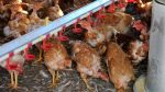 ¡ATENCIÓN! Detectan en Rusia primer caso de transmisión de gripe aviar al ser humano