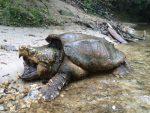FOTOS | Capturan a una tortuga caimán de más de 45 kilos en un lugar inusual de EE.UU.