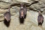 """Descubren que los murciélagos practican el """"distanciamiento social"""" cuando están enfermos"""