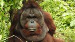 Orangután que perdió ambos brazos tratando de escapar de sus captores aprende a trepar árboles y encontrar comida usando sus patas