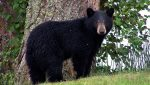 Una joven es atacada por un oso en California y logra salvarse golpeándolo con un portátil