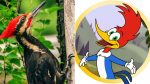 Se declaró extinto el ave que inspiró la caricatura del 'Pájaro Loco'