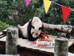 Xinxing, el panda más longevo del mundo, celebró su cumpleaños número 38