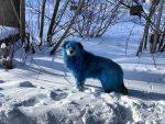 FOTOS: Perros con pelaje de color azul brillante sorprenden a los residentes de una ciudad rusa