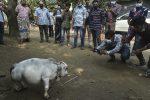 Así es Rani, la vaca más pequeña del mundo reconocida en el récord Guinness