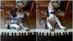 VIDEO | Un perro toca el piano y canta, el video sorprendió al mundo